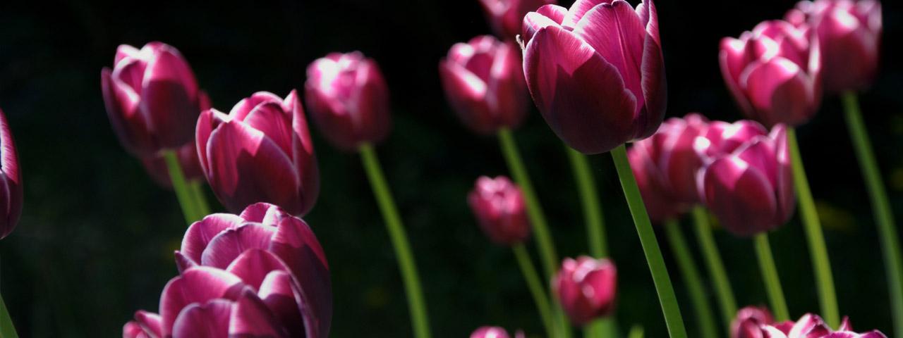 Field-of-Purple-Tulips