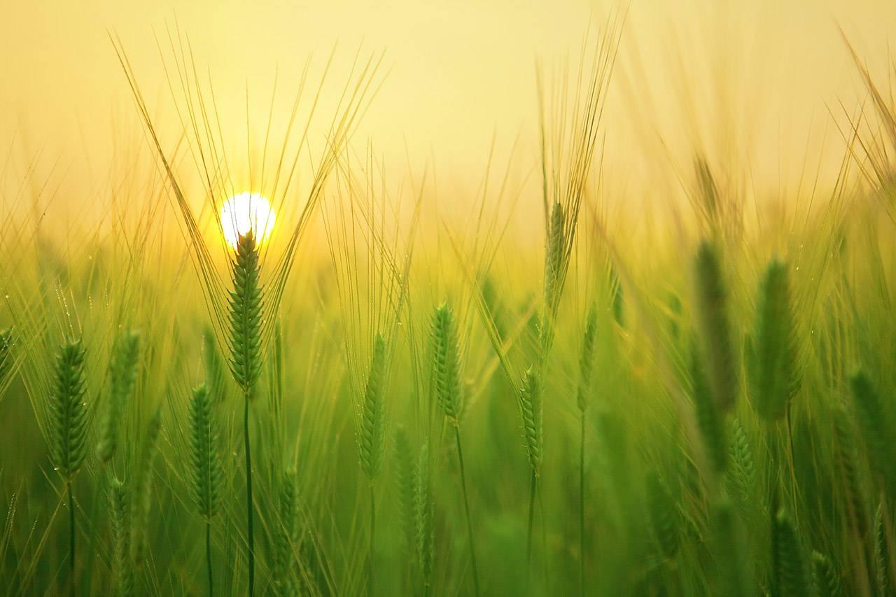 Barley-Field-1280X853