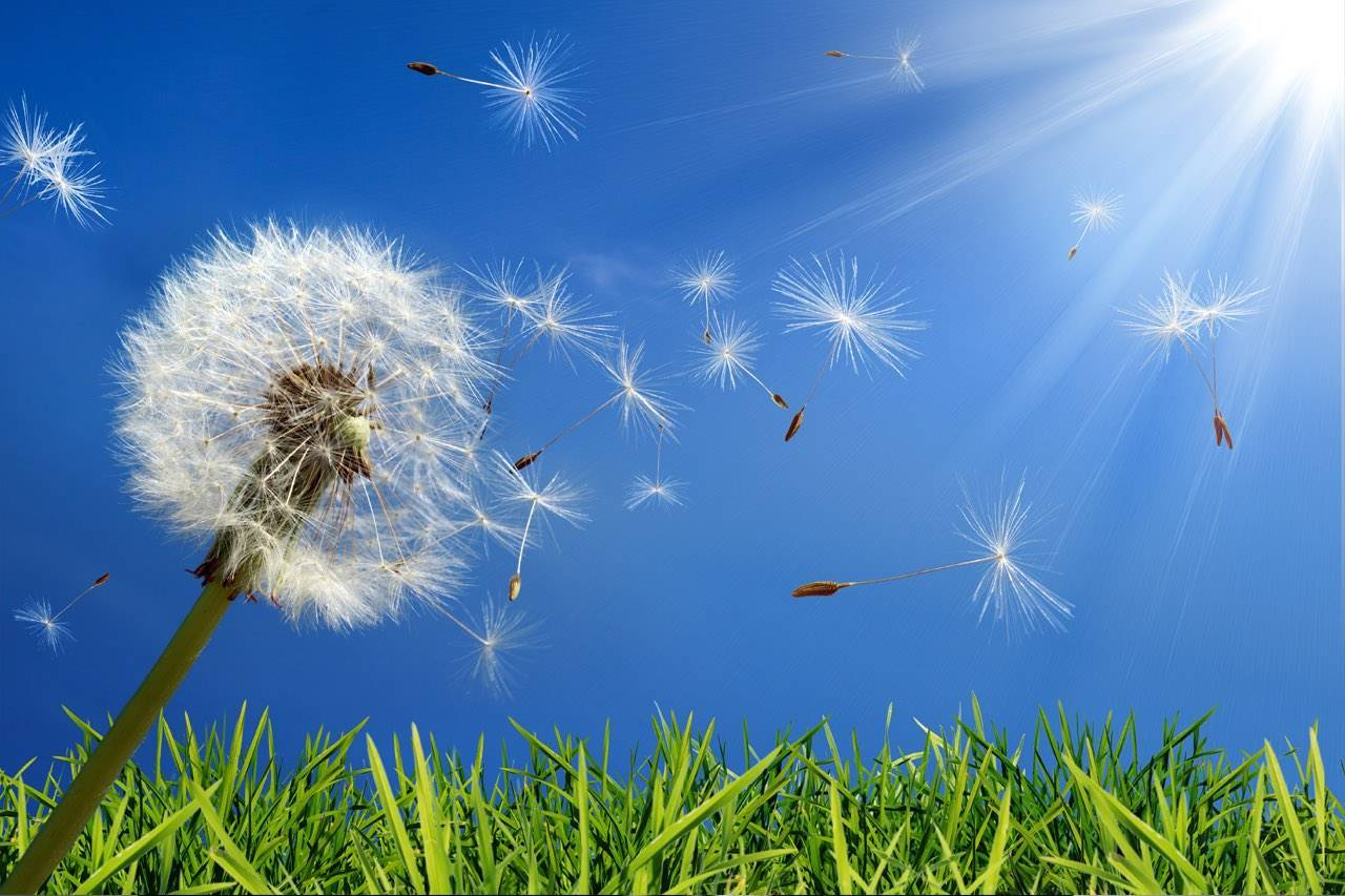 eye allergy dandelions