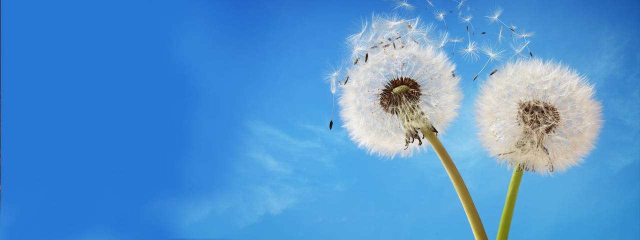 dandelions_clearblue_sky_1280x480