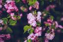 flowers-pink-apple-blossoms