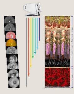 retinal layers large 237×300