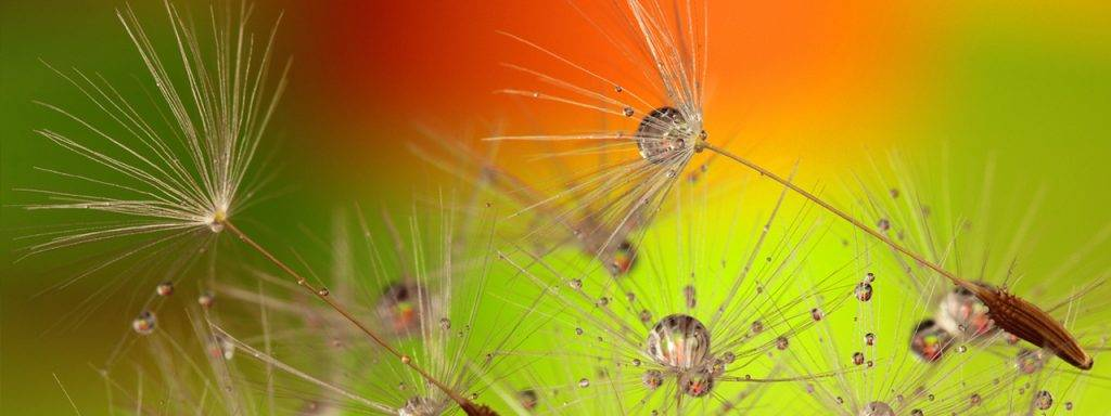Dandelions-Bright-Background-1280x480-1024x384