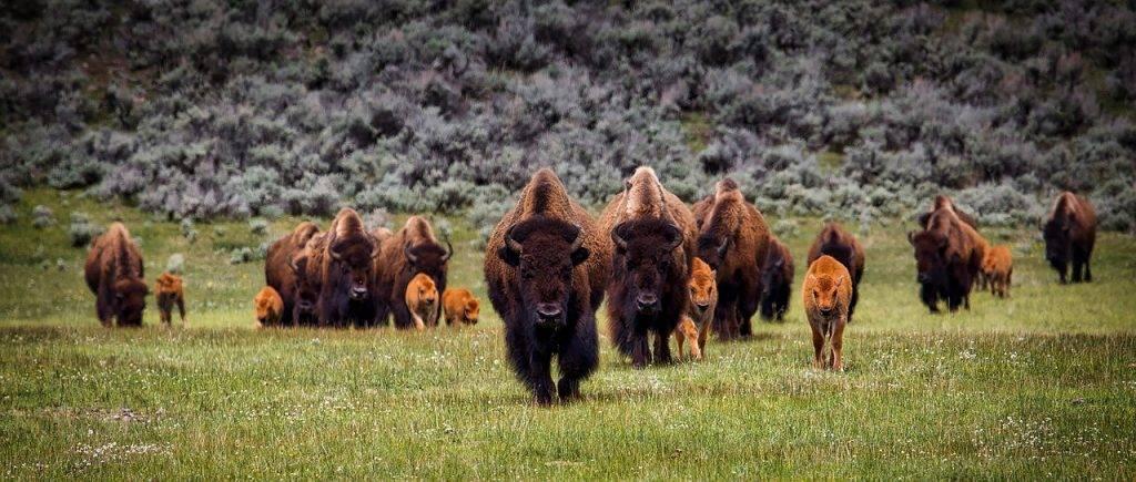 bison 1581895 1280