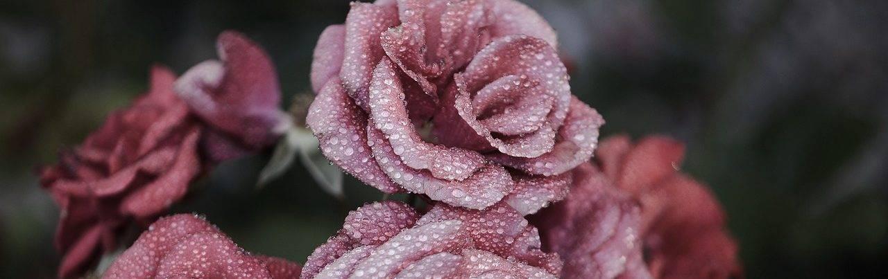 rose-615281_1280-e1498674144796