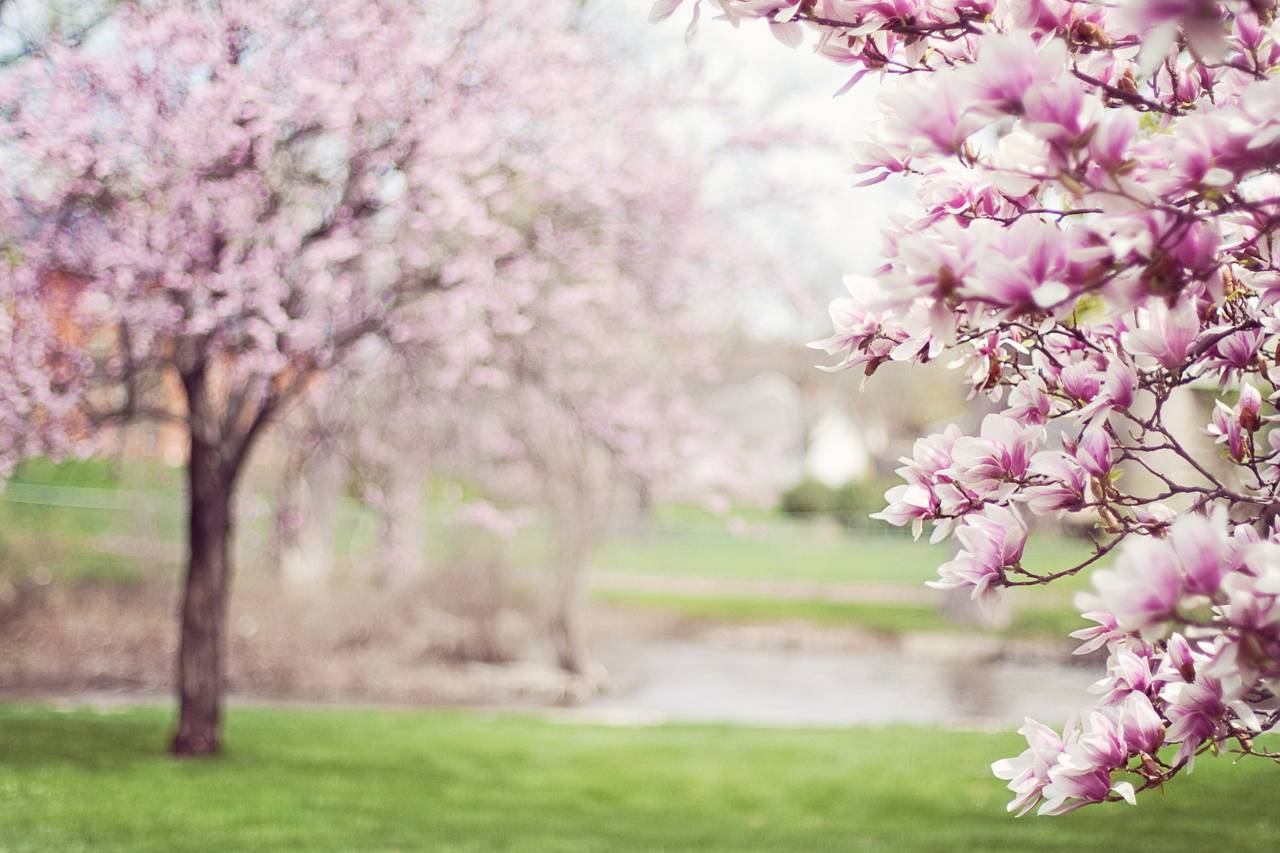 Purple-Magnolia-Trees-1280x853