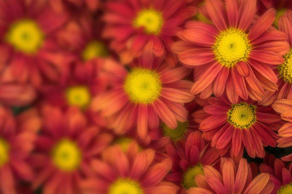Flower Mums Red Blur 1280x853