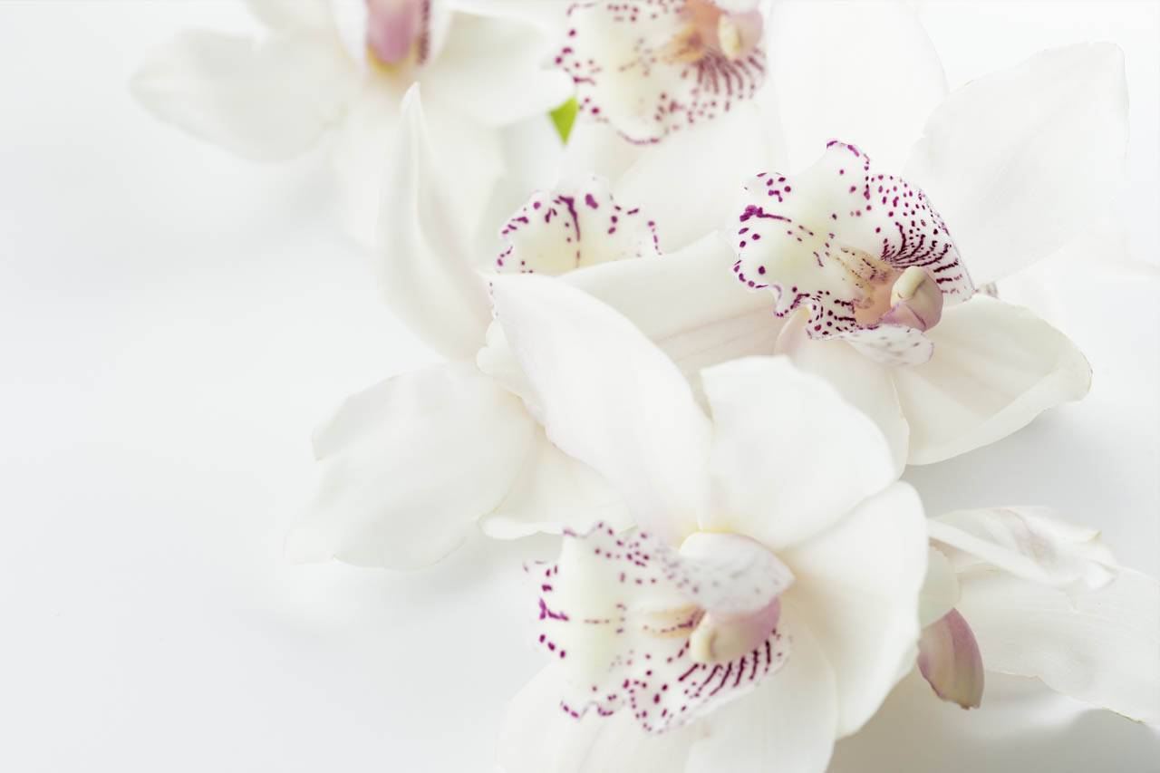 flower-orchids-white