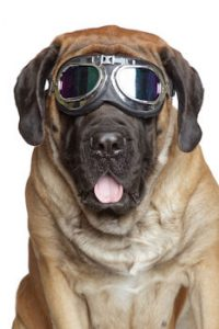 safety goggles on dog advertising vision insurance