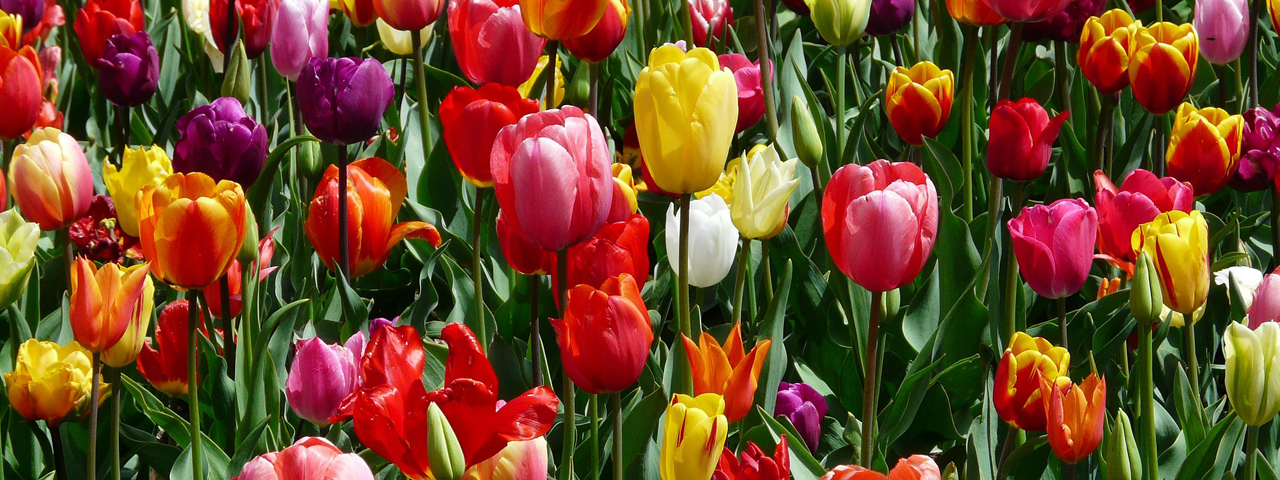 Bright-Colored-Tulips-1280x480