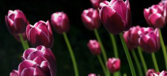 Field-of-Purple-Tulips-330x150