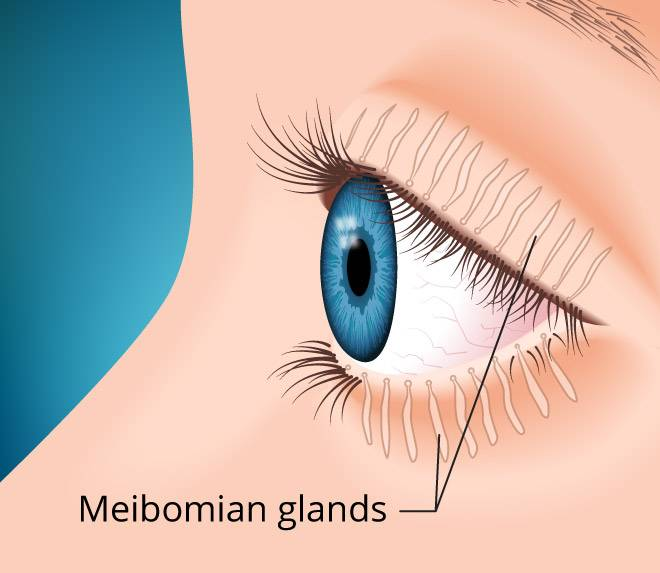 meibomian glands