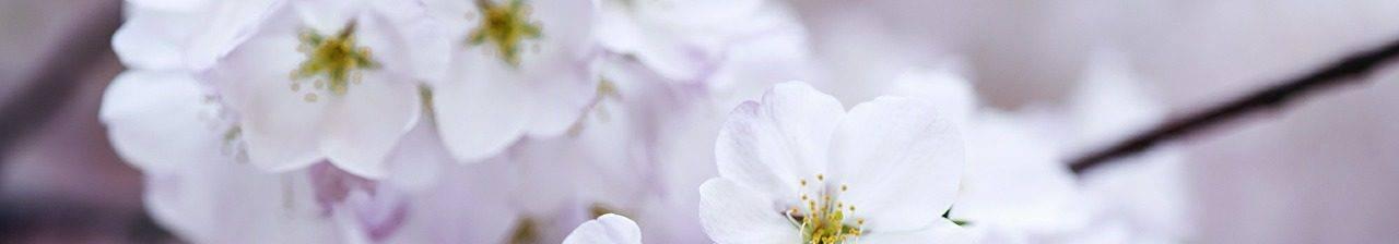 cherry-blossom-438221_1280-e1503897885844